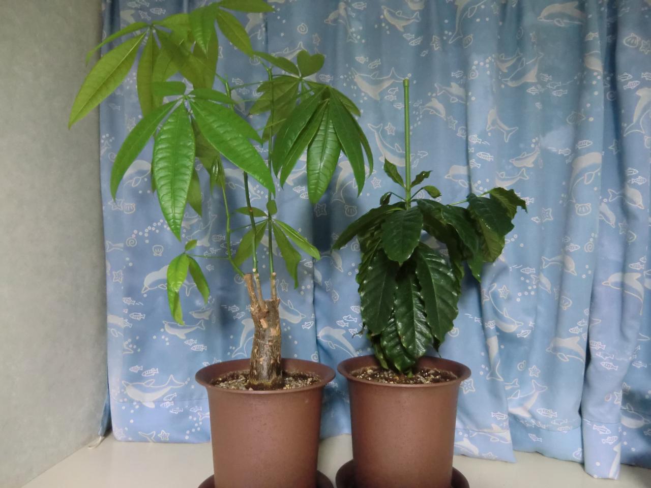 パキラ + コーヒーの木